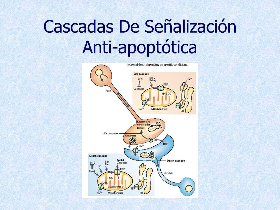 Cascadas De Señalización Anti-apoptótica