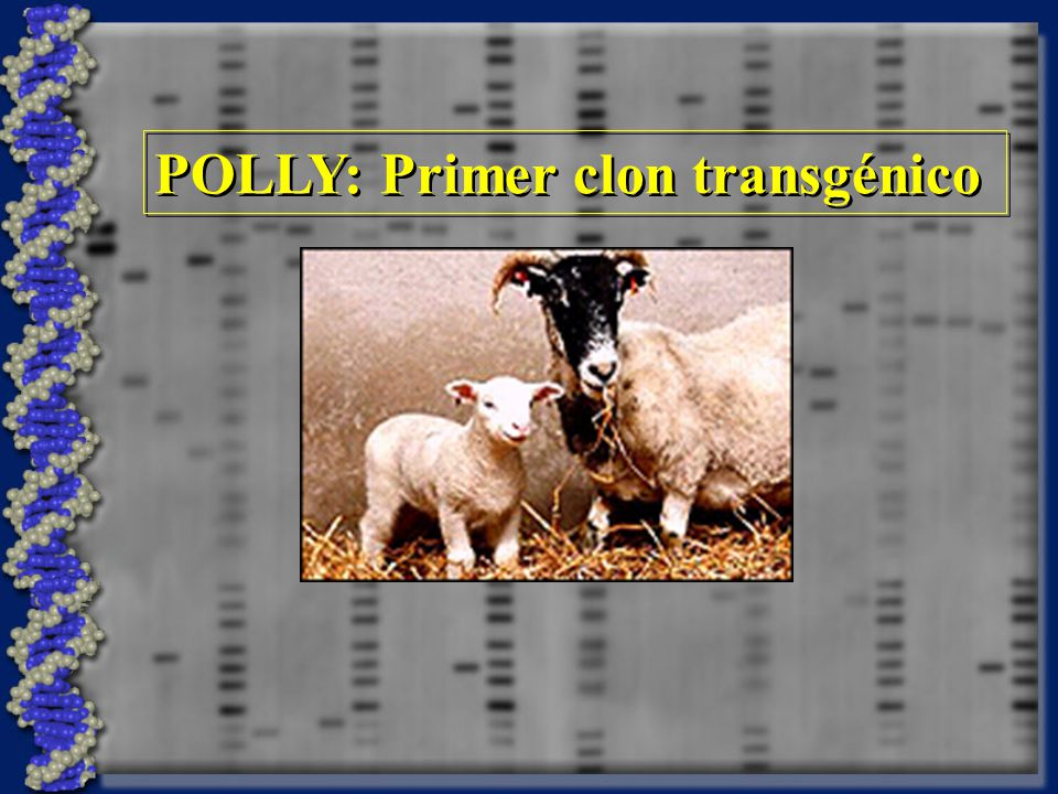 POLLY: Primer clon transgénico