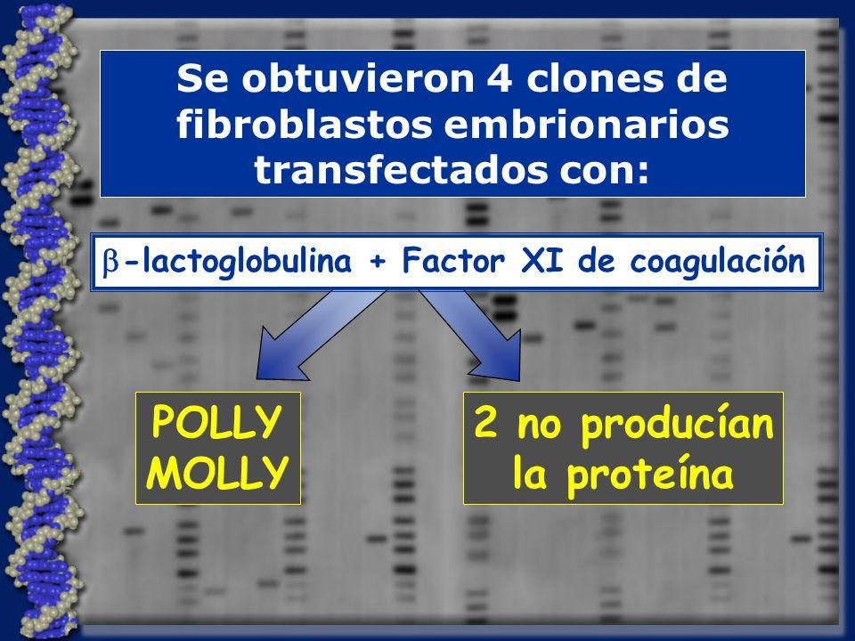 Se obtuvieron 4 clones de fibroblastos embrionarios transfectados con: