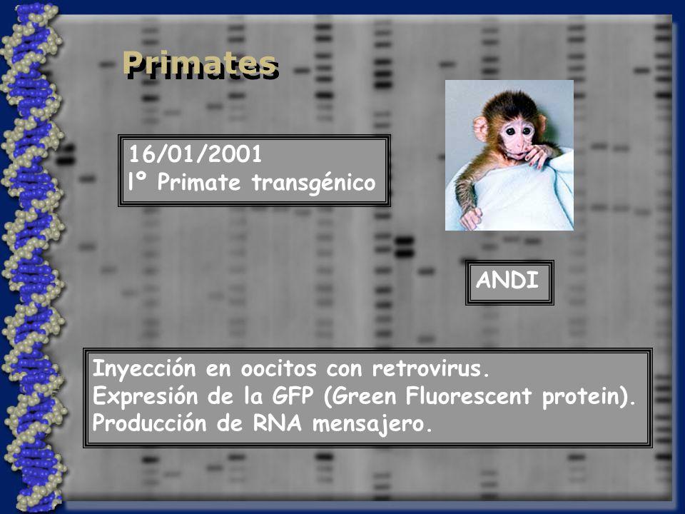 Primates 16/01/2001 lº Primate transgénico ANDI