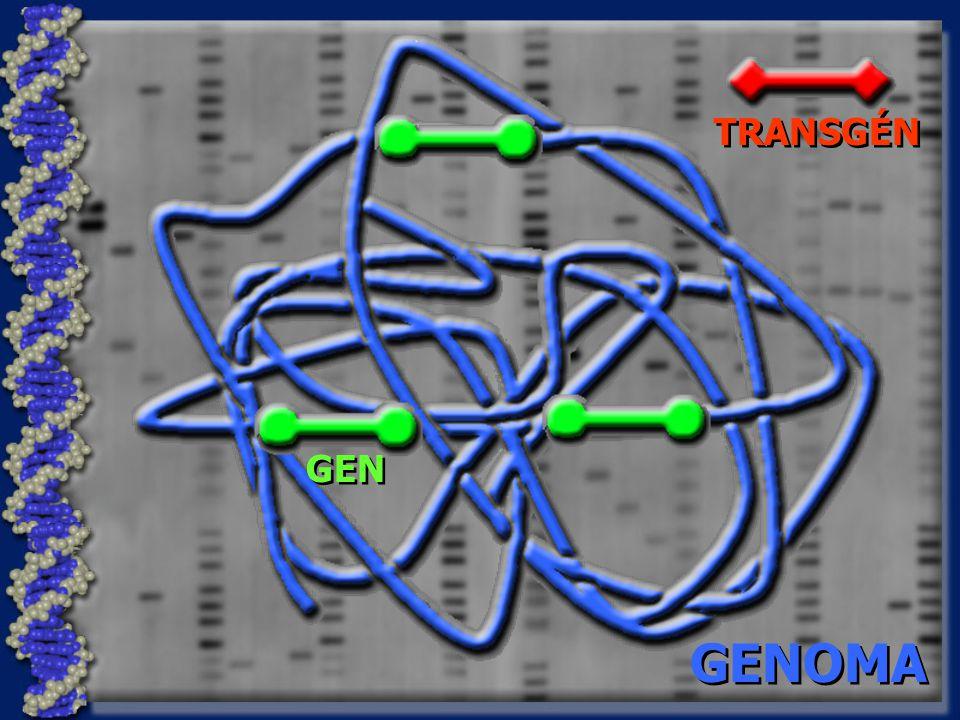 TRANSGÉN GEN GENOMA
