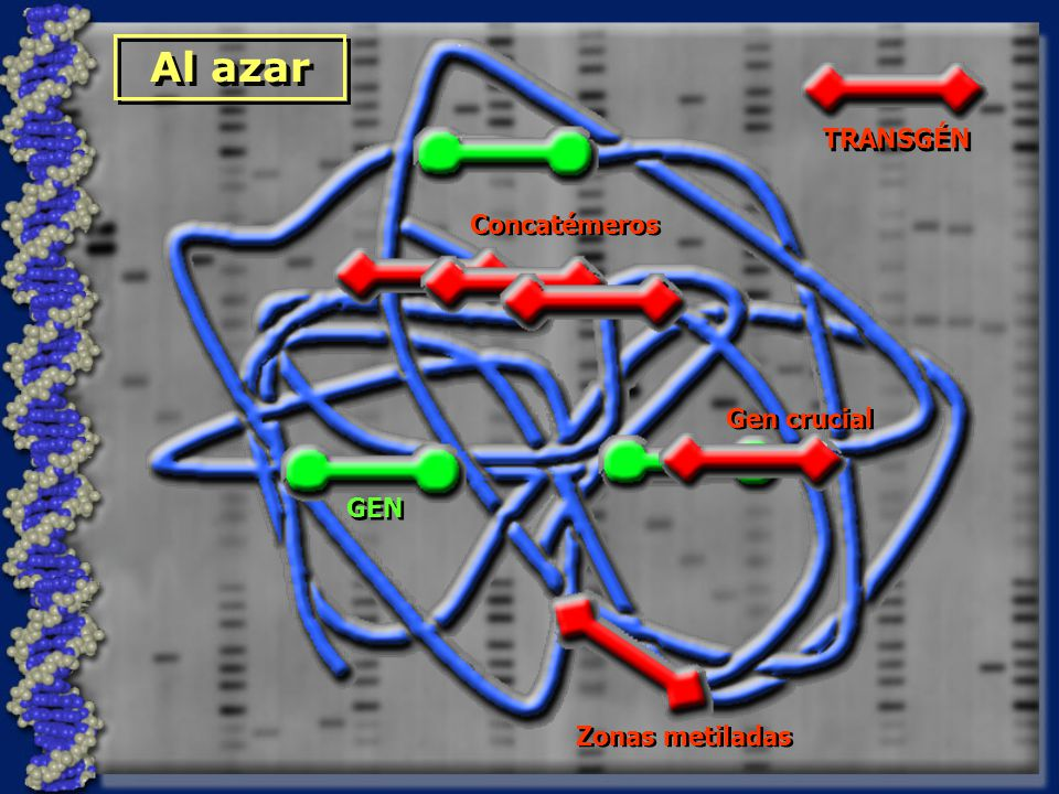 Al azar TRANSGÉN GEN Concatémeros Gen crucial Zonas metiladas