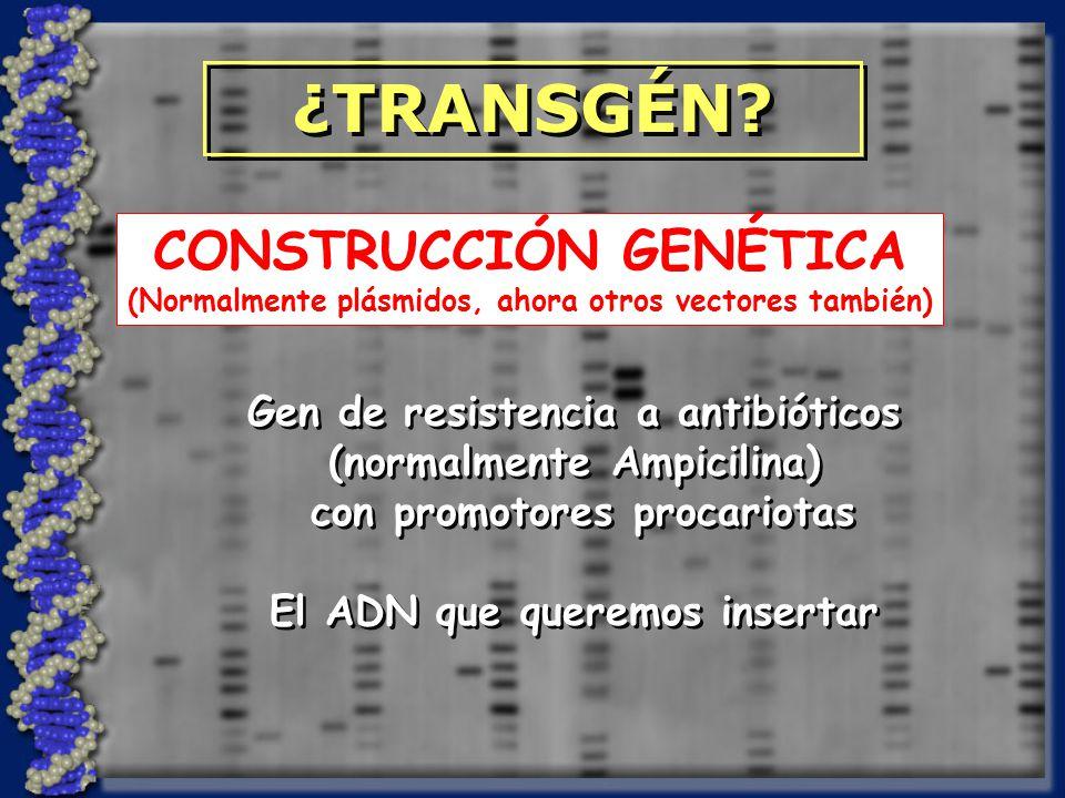 ¿TRANSGÉN CONSTRUCCIÓN GENÉTICA