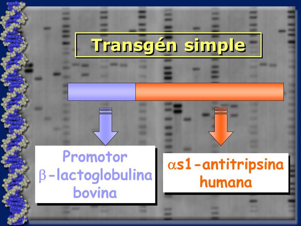 Transgén simple Promotor as1-antitripsina b-lactoglobulina humana