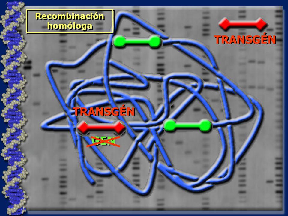 Recombinación homóloga TRANSGÉN GEN TRANSGÉN