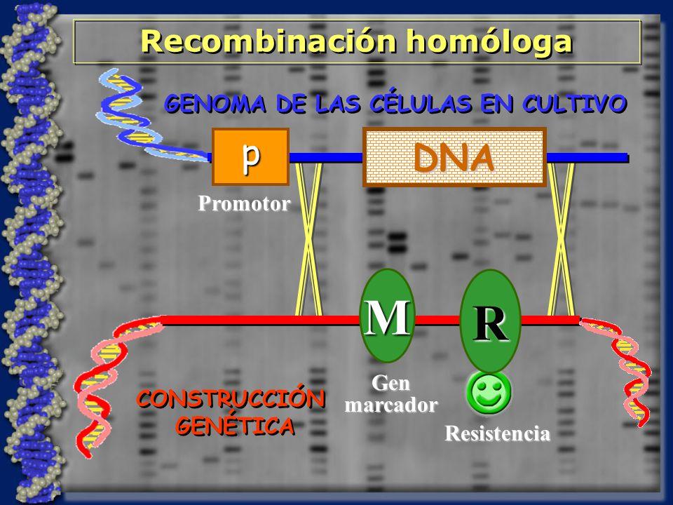 Recombinación homóloga
