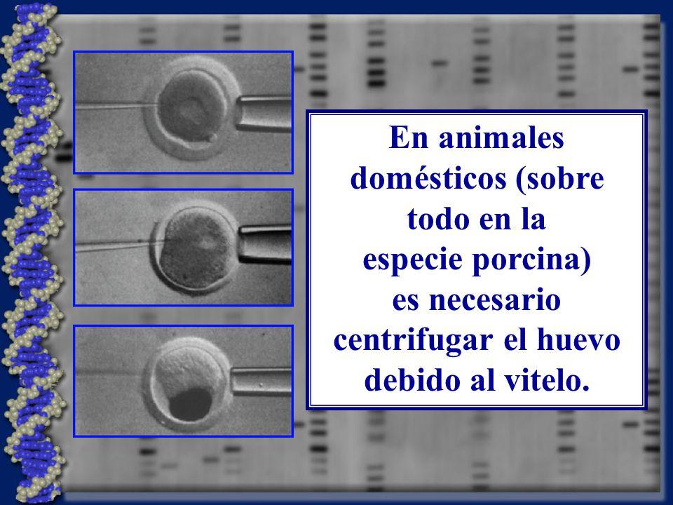En animales domésticos (sobre todo en la