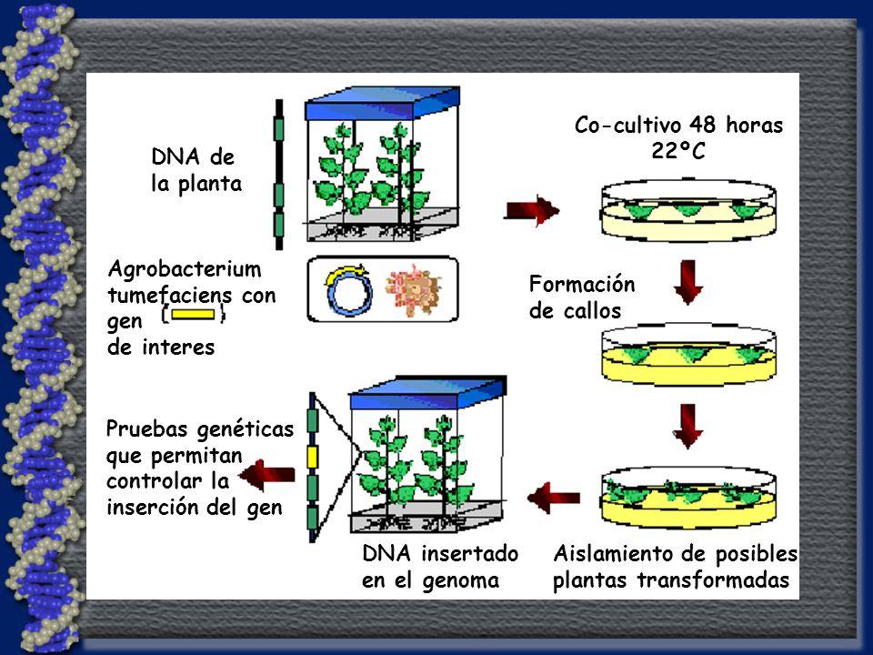Agrobacterium tumefaciens con. gen. de interes. DNA de. la planta. Co-cultivo 48 horas. 22ºC.