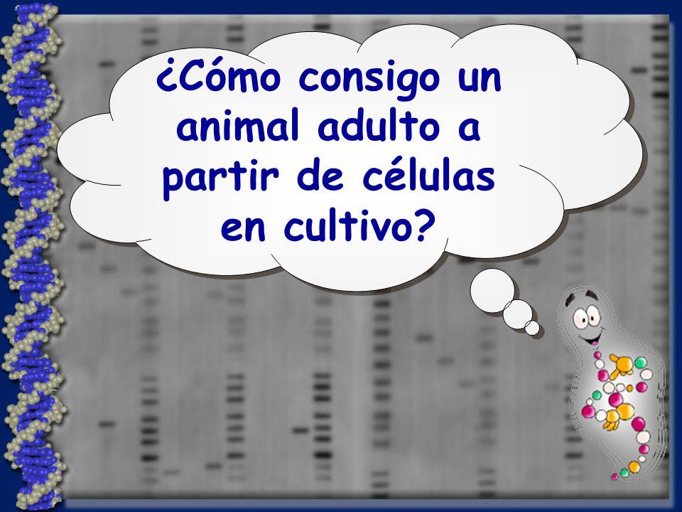 ¿Cómo consigo un animal adulto a partir de células en cultivo