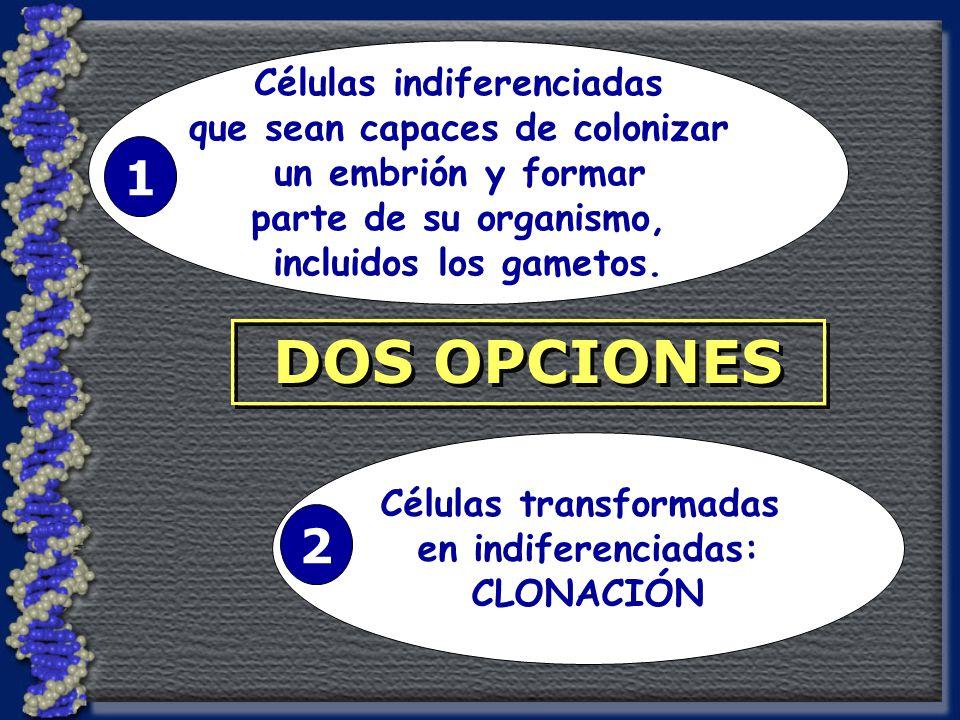 DOS OPCIONES 1 2 Células indiferenciadas que sean capaces de colonizar
