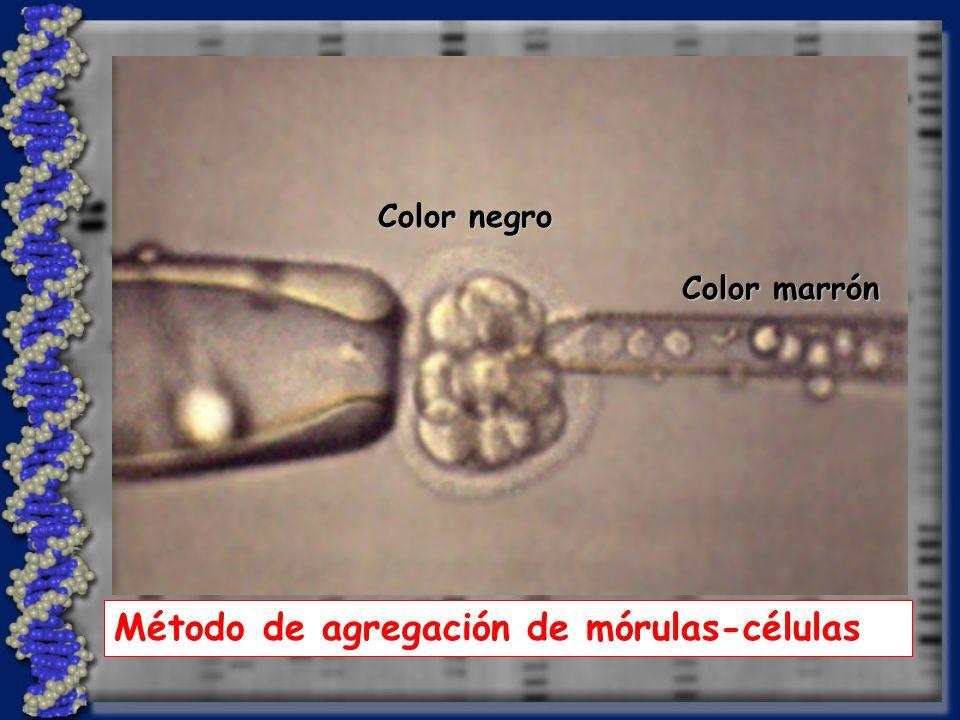 Método de agregación de mórulas-células
