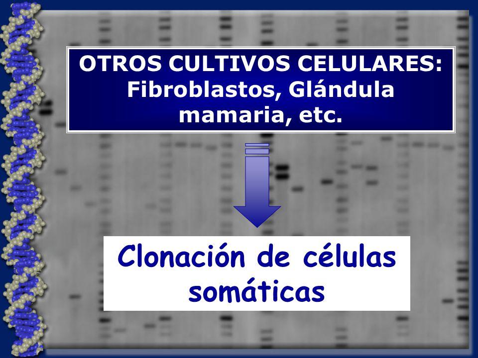 OTROS CULTIVOS CELULARES: Fibroblastos, Glándula mamaria, etc.