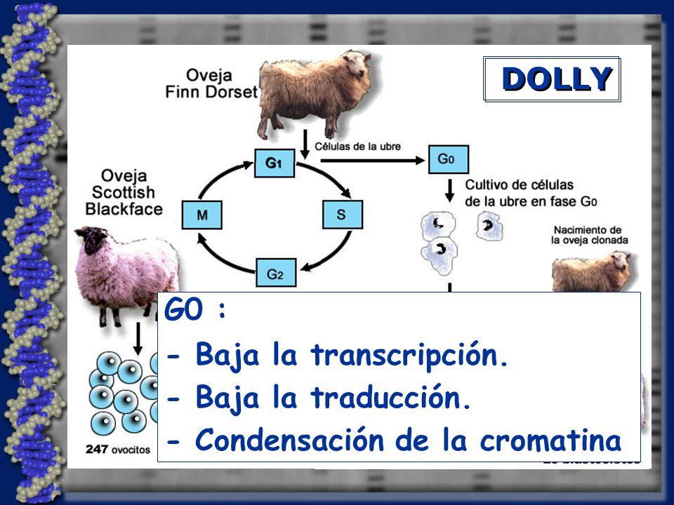 DOLLY G0 : - Baja la transcripción. - Baja la traducción. - Condensación de la cromatina