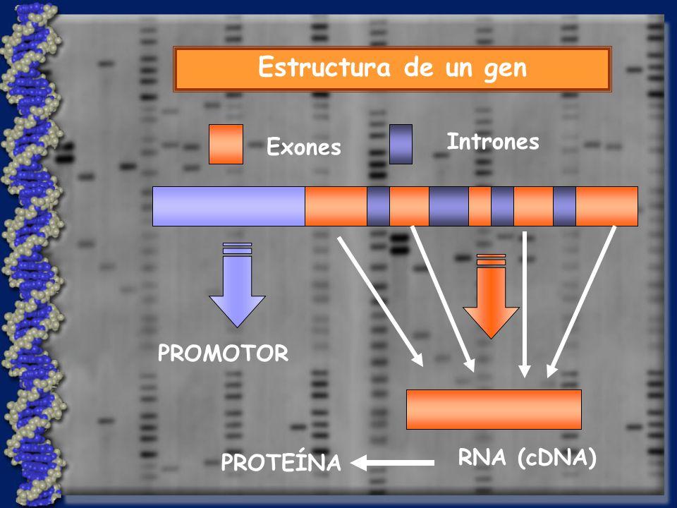 Estructura de un gen Intrones Exones RNA (cDNA) PROMOTOR PROTEÍNA