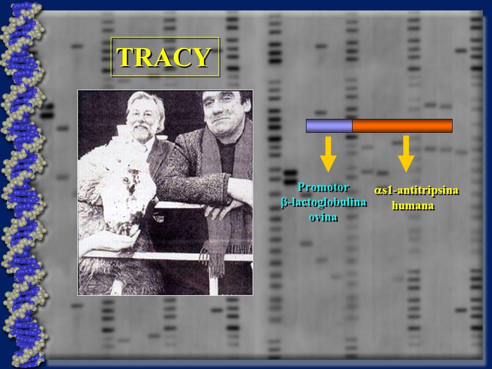 TRACY as1-antitripsina humana Promotor b-lactoglobulina ovina