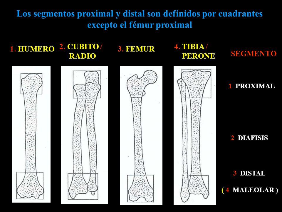 Los segmentos proximal y distal son definidos por cuadrantes