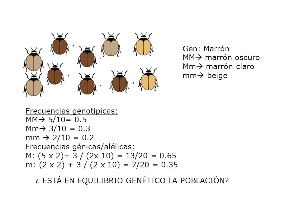 Frecuencias genotípicas: MM 5/10= 0.5 Mm 3/10 = 0.3 mm  2/10 = 0.2