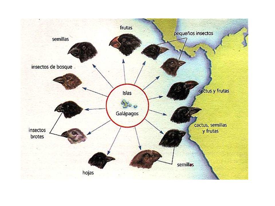 En el viaje de Darwin vio la gran variabilidad de especies de pinzones, muy similares entre si pero con diferencias morfológicas claras, fundamentalmente en el tamaño y forma del pico. Es un ejemplo claro de selección de caracteres cuantitativos y de especiación. Cada isla tenía unos recursos alimenticios y las distintas poblaciones se fueron adaptando a este ambiente. Así se favorecía a los animales con un tipo de pico determinado.
