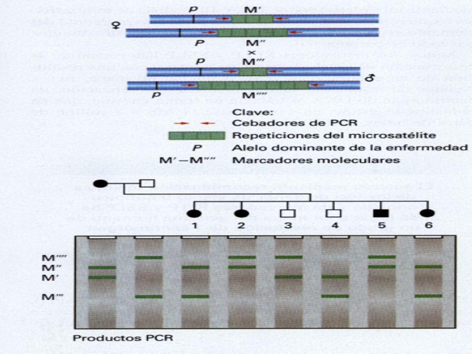 Los microsatélites también los podemos usar como marcadores asociados a fenotipos concretos, por ejemplo una enfermedad.