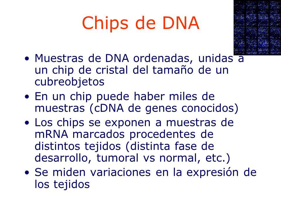 Chips de DNA Muestras de DNA ordenadas, unidas a un chip de cristal del tamaño de un cubreobjetos.