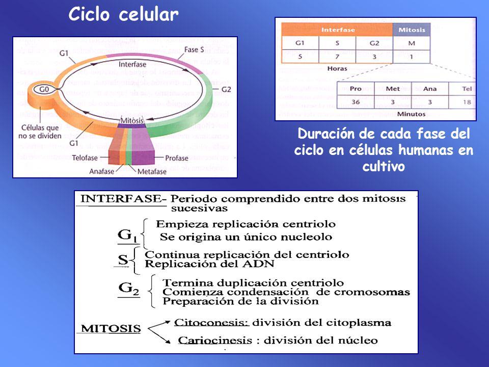 Duración de cada fase del ciclo en células humanas en cultivo