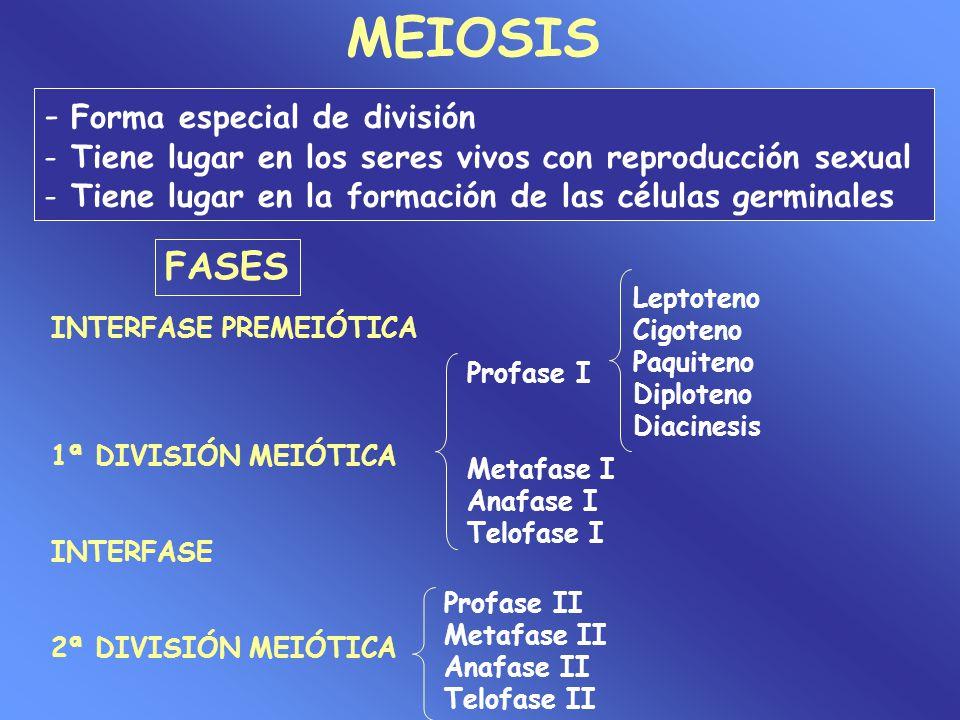 MEIOSIS - Forma especial de división FASES