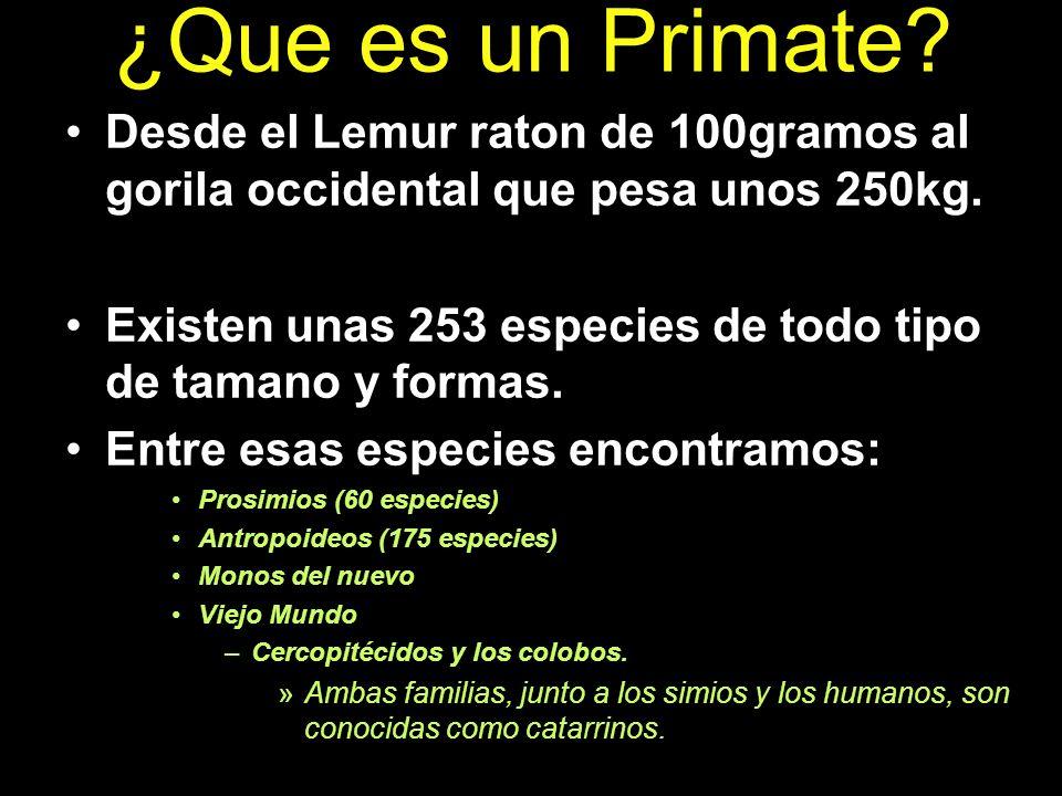 ¿Que es un Primate Desde el Lemur raton de 100gramos al gorila occidental que pesa unos 250kg.