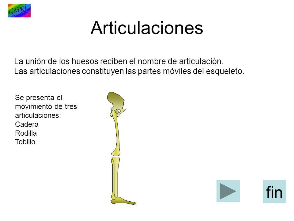 Articulaciones La unión de los huesos reciben el nombre de ...