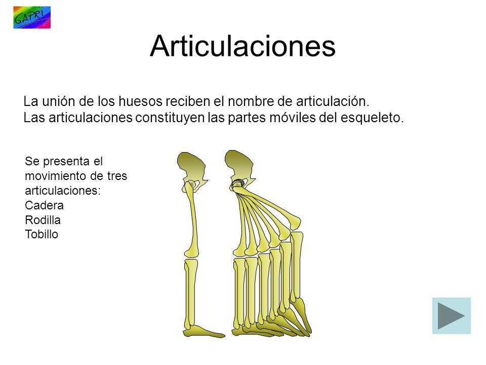 Articulaciones La unión de los huesos reciben el nombre de articulación. Las articulaciones constituyen las partes móviles del esqueleto.