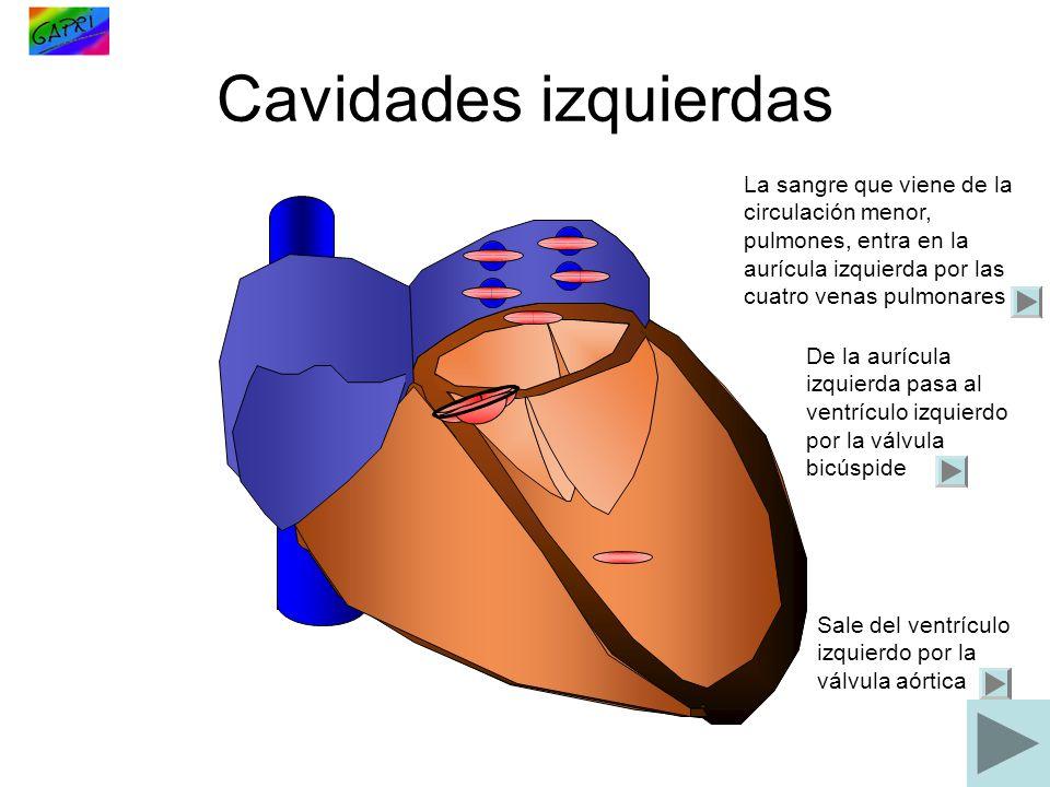 Cavidades izquierdas La sangre que viene de la circulación menor, pulmones, entra en la aurícula izquierda por las cuatro venas pulmonares.