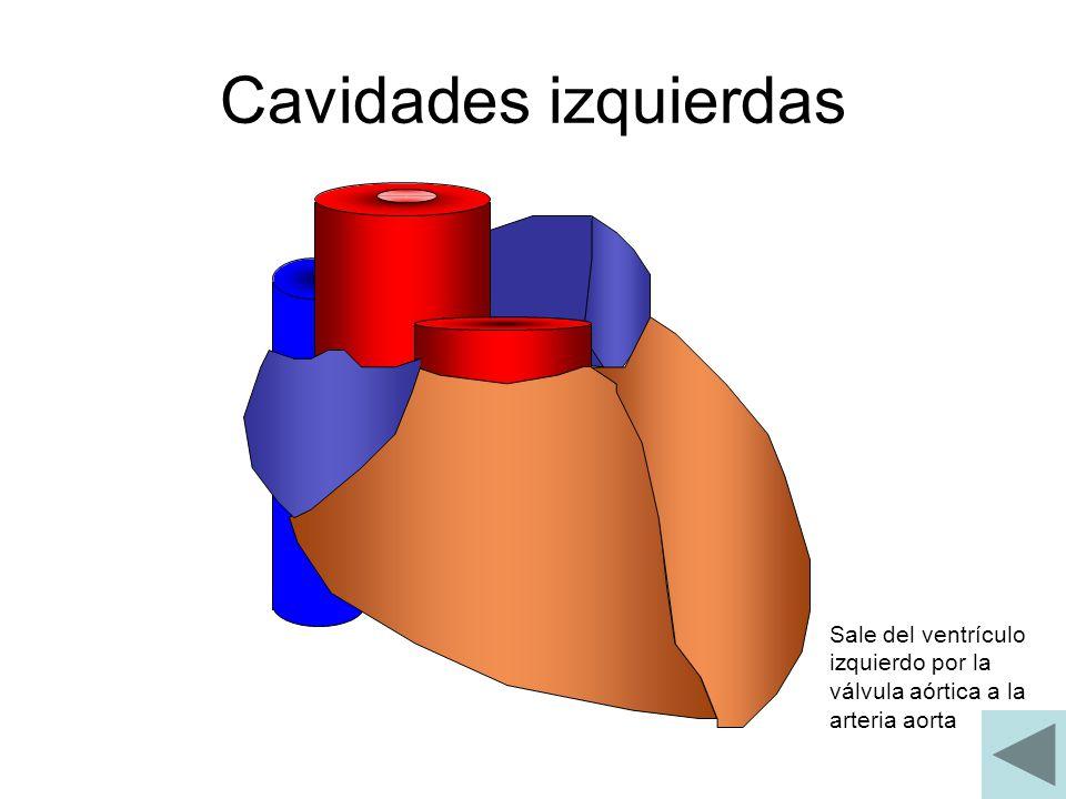 Cavidades izquierdas Sale del ventrículo izquierdo por la válvula aórtica a la arteria aorta