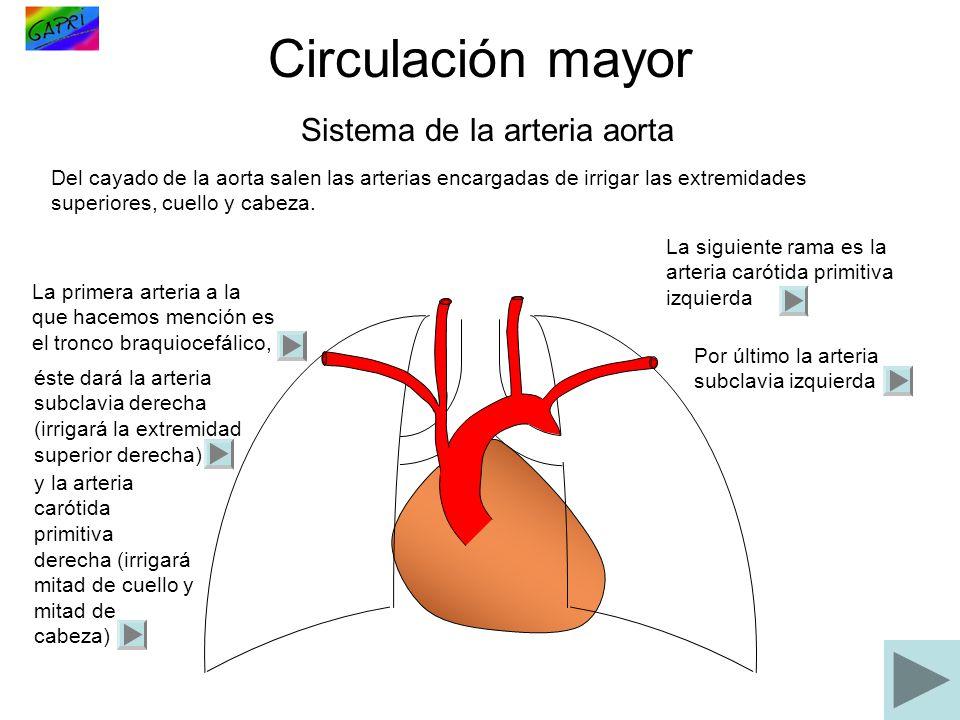 Circulación mayor Sistema de la arteria aorta