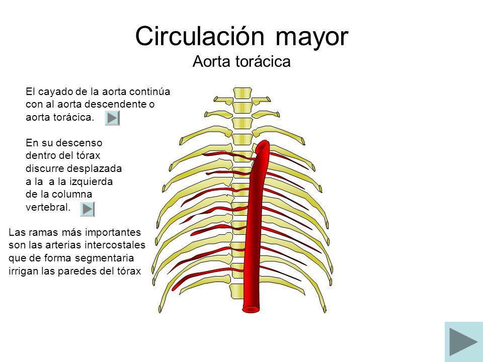 Circulación mayor Aorta torácica