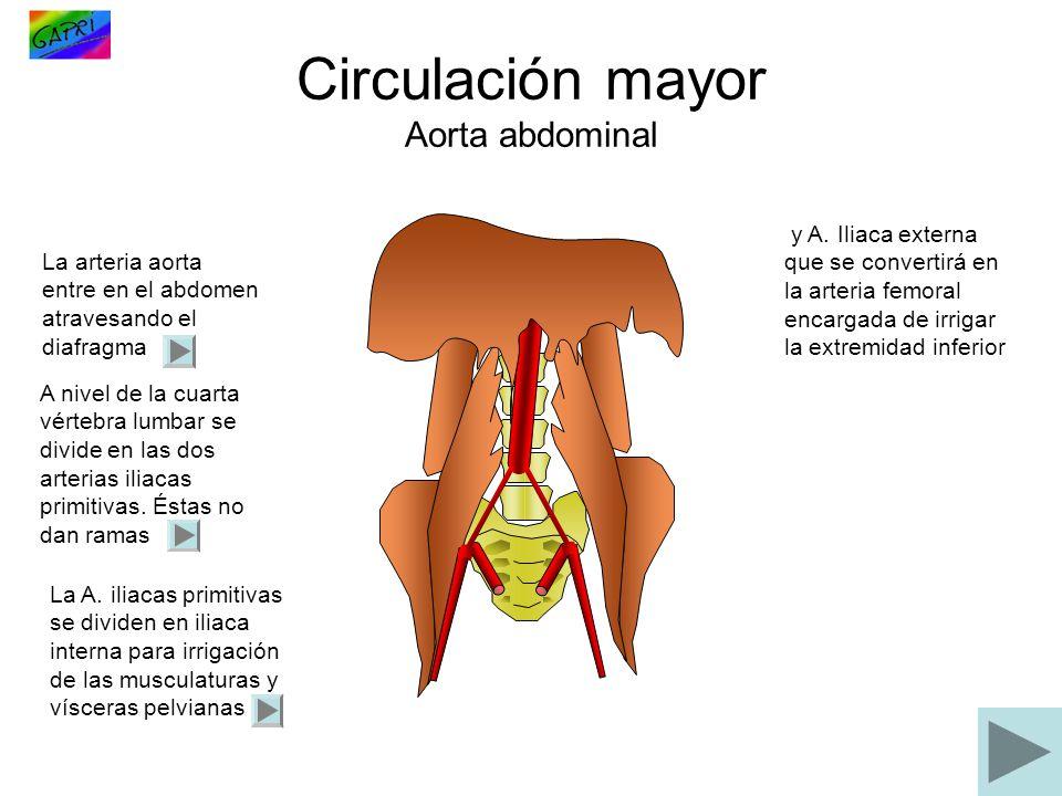 Circulación mayor Aorta abdominal