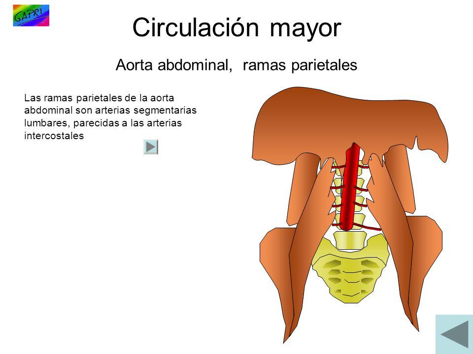 Circulación mayor Aorta abdominal, ramas parietales