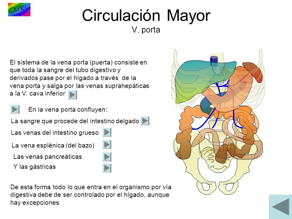 Circulación Mayor V. porta