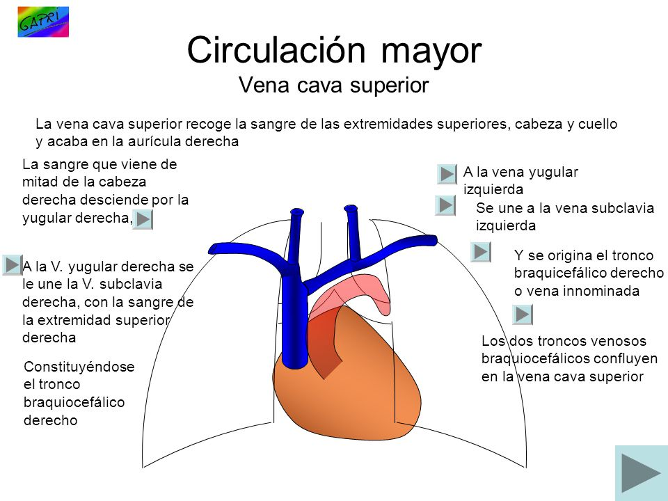 Circulación mayor Vena cava superior