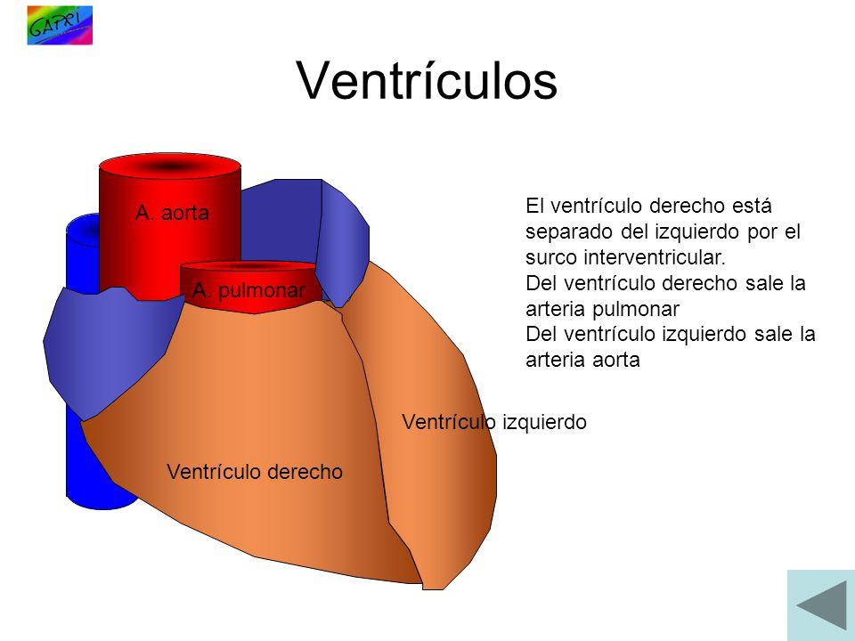 Ventrículos El ventrículo derecho está separado del izquierdo por el surco interventricular. Del ventrículo derecho sale la arteria pulmonar.