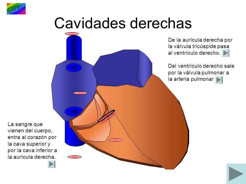 Cavidades derechas De la aurícula derecha por la válvula tricúspide pasa al ventrículo derecho.