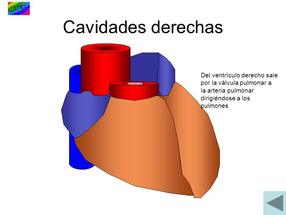 Cavidades derechas Del ventrículo derecho sale por la válvula pulmonar a la arteria pulmonar dirigiéndose a los pulmones.