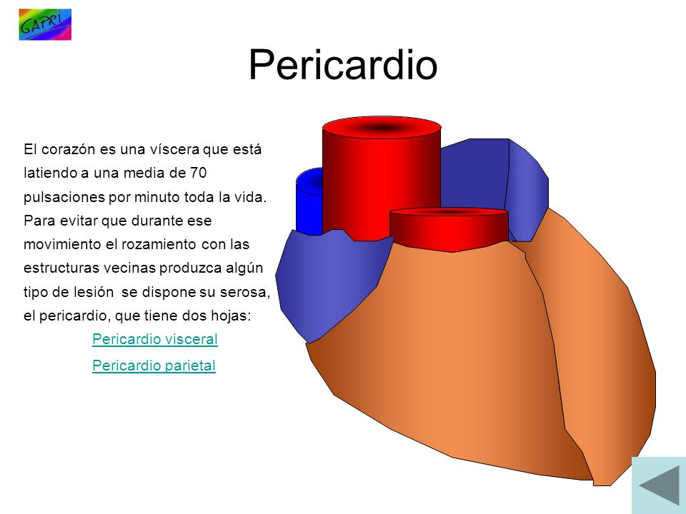 Pericardio El corazón es una víscera que está latiendo a una media de 70 pulsaciones por minuto toda la vida.