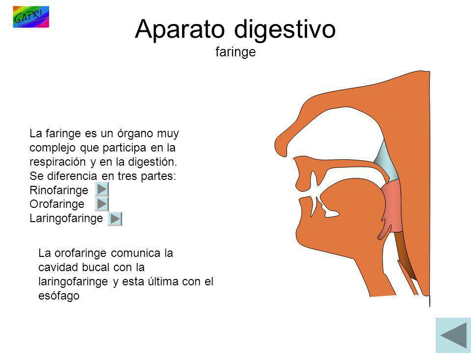 Aparato digestivo faringe