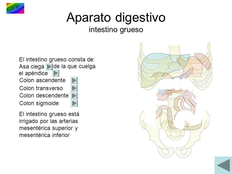 Aparato digestivo intestino grueso