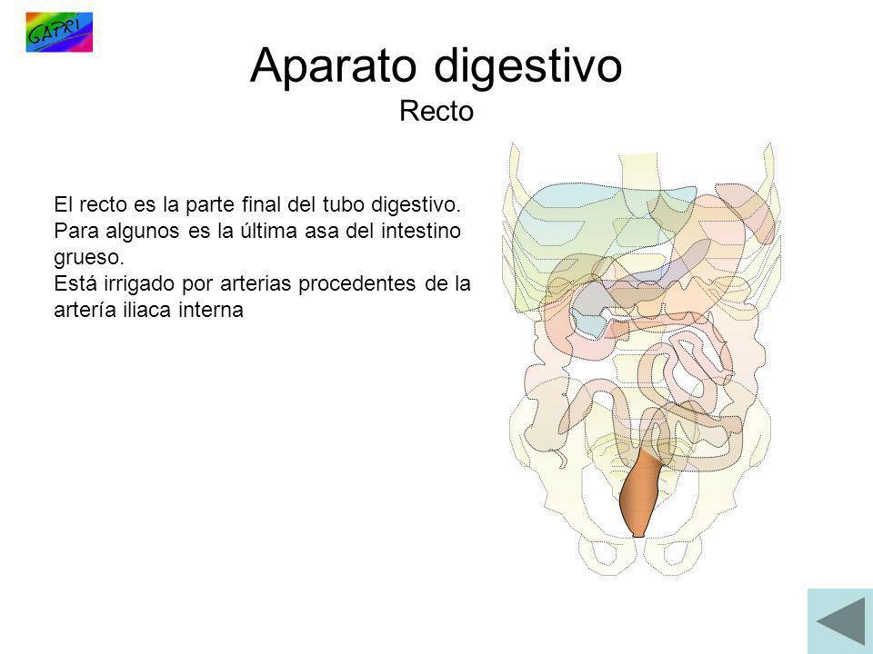 Aparato digestivo Recto