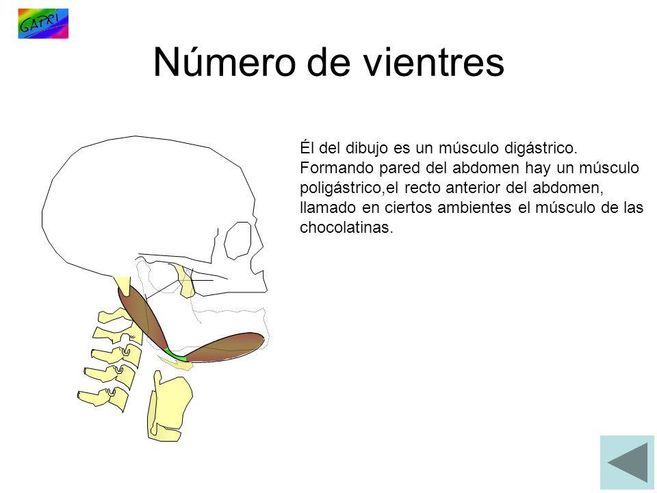 Número de vientres Él del dibujo es un músculo digástrico.