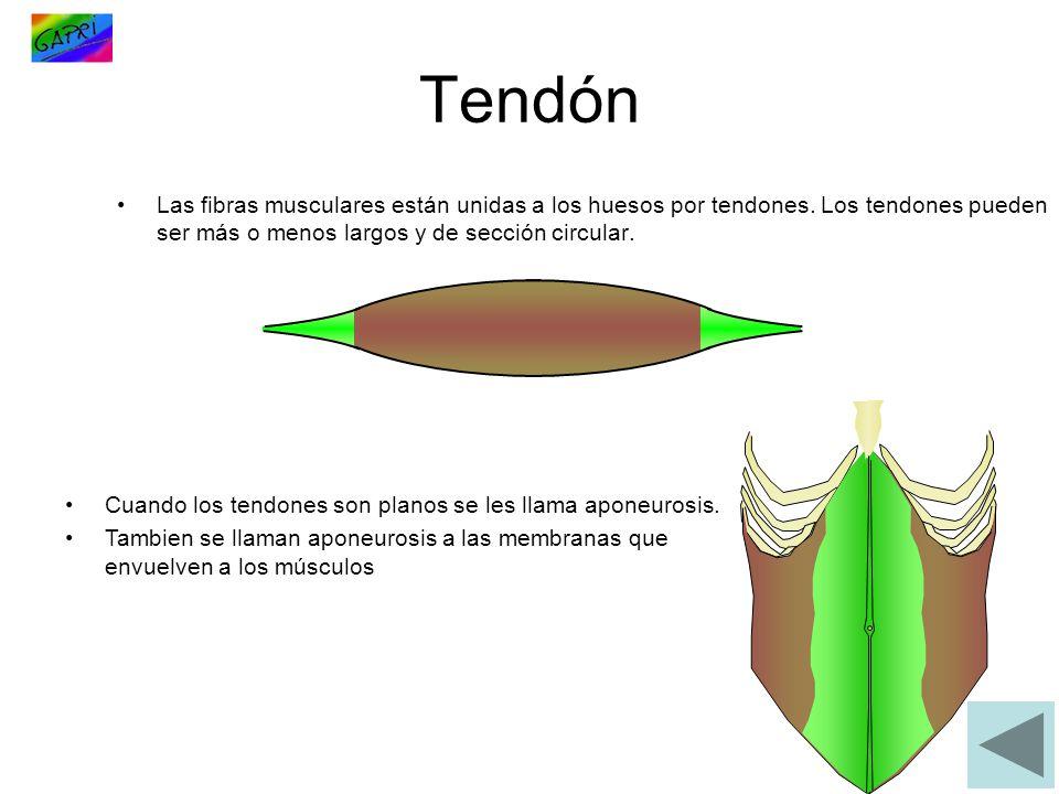 Tendón Las fibras musculares están unidas a los huesos por tendones. Los tendones pueden ser más o menos largos y de sección circular.