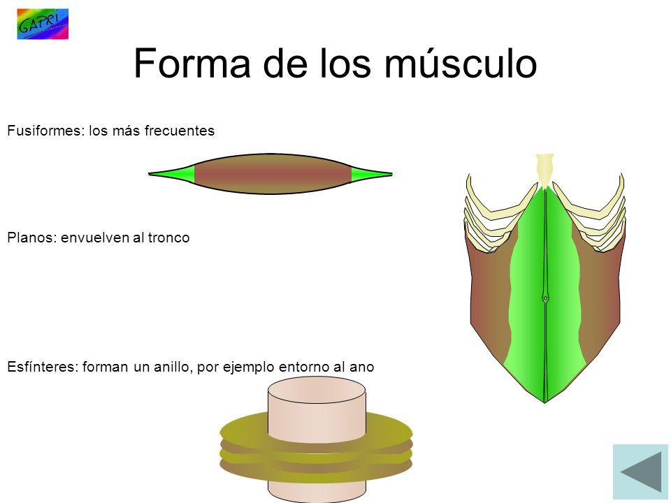 Forma de los músculo Fusiformes: los más frecuentes