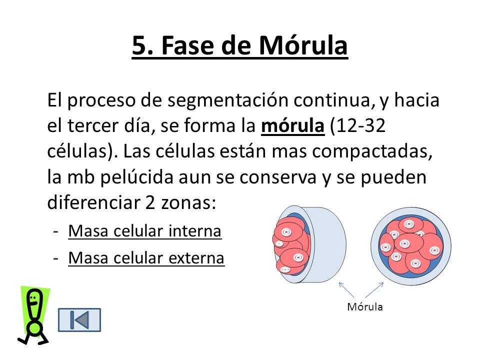 5. Fase de Mórula