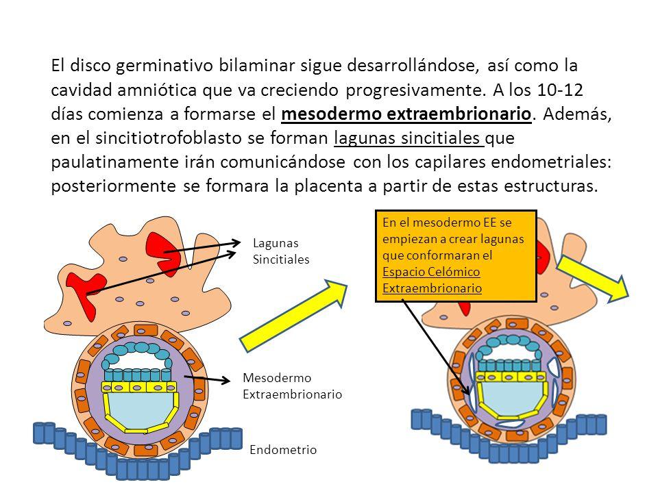 El disco germinativo bilaminar sigue desarrollándose, así como la cavidad amniótica que va creciendo progresivamente. A los 10-12 días comienza a formarse el mesodermo extraembrionario. Además, en el sincitiotrofoblasto se forman lagunas sincitiales que paulatinamente irán comunicándose con los capilares endometriales: posteriormente se formara la placenta a partir de estas estructuras.