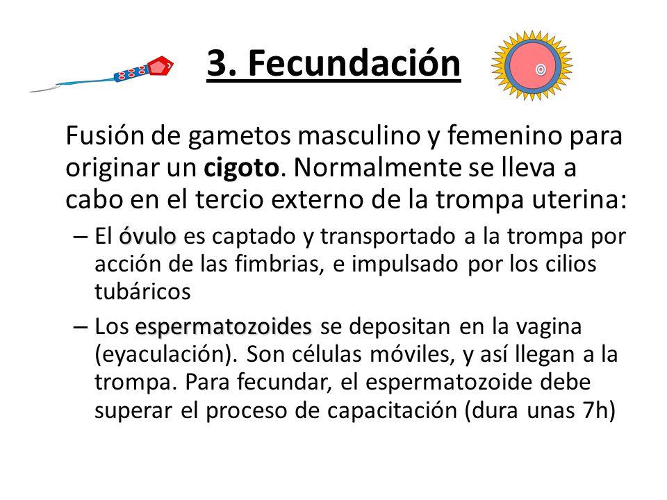 3. Fecundación Fusión de gametos masculino y femenino para originar un cigoto. Normalmente se lleva a cabo en el tercio externo de la trompa uterina:
